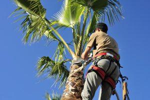 arborist-trimming-palm-tree