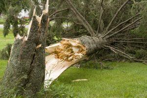 fallen-damaged-tree