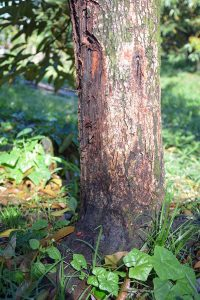 rotting-tree